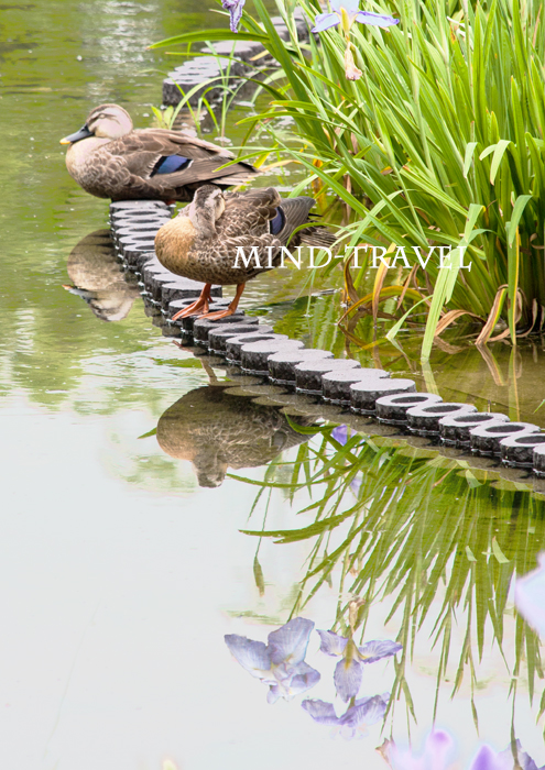 城北公園 花菖蒲 鴨