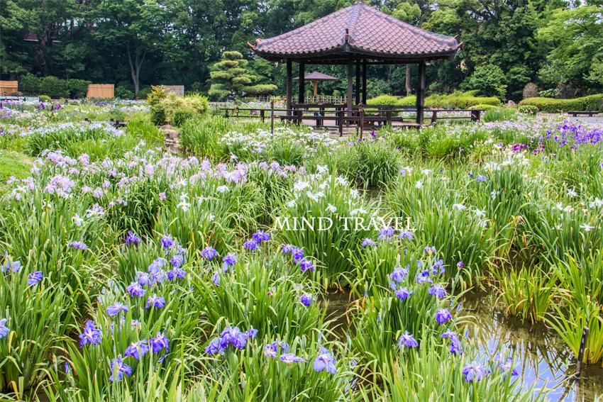 城北公園 花菖蒲
