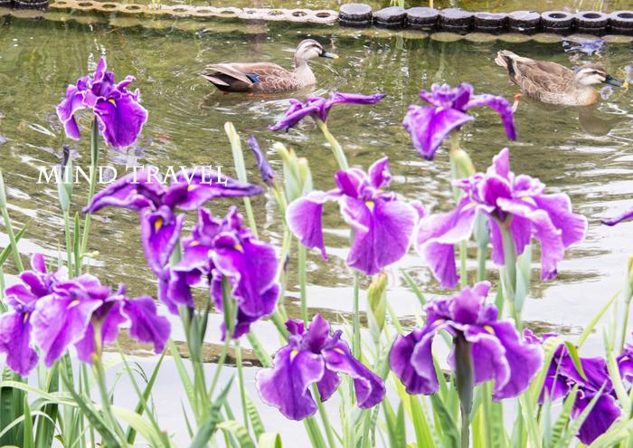 城北公園 花菖蒲 鴨2