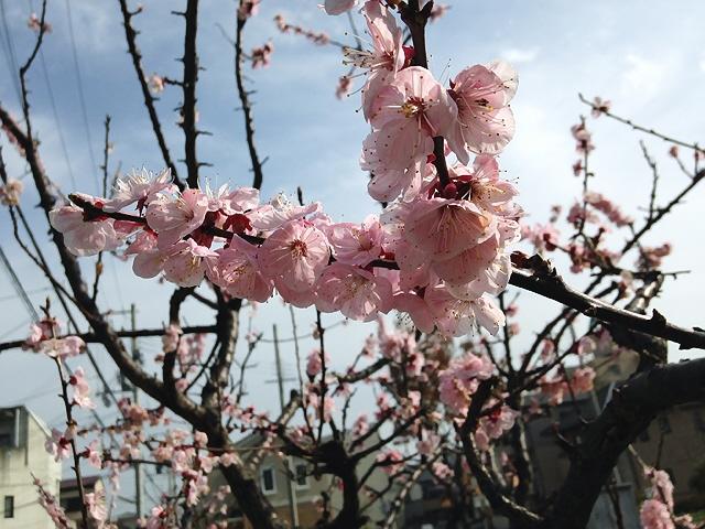 まだ3月の話です、珍しい梅の花&近所の杏子の花ヽ(^o^)丿