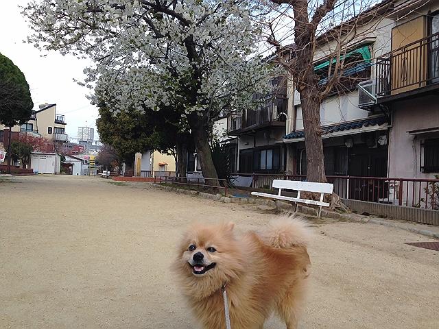 神戸下町で花見散歩。大島桜&彼岸桜。〈3月末編〉