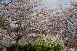 けいはんな桜2015