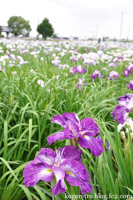 久喜の花しょうぶとラベンダー3