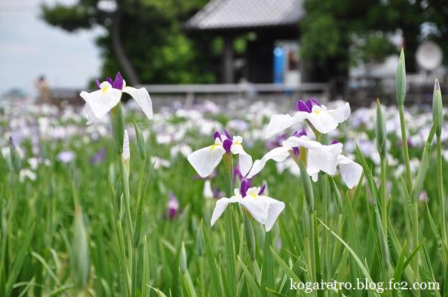 久喜の花しょうぶとラベンダー6