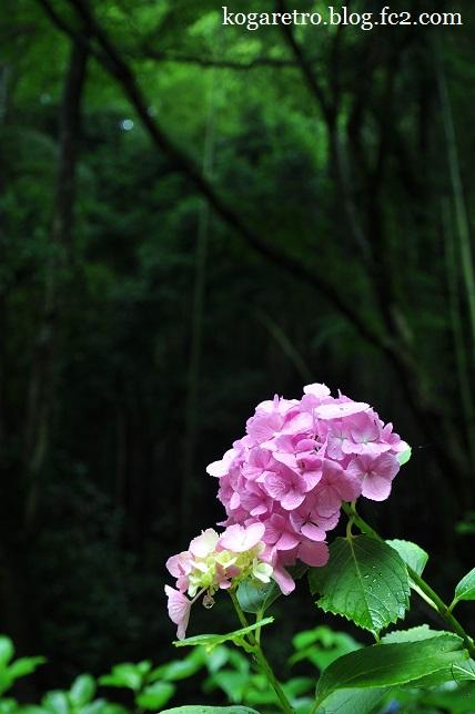 太平山のあじさい3