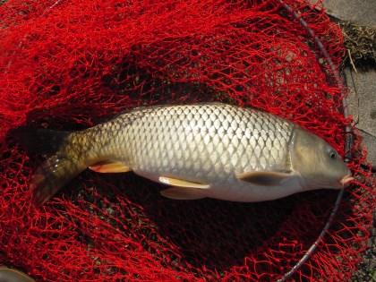 中川 鯉 57cm