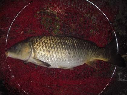 中川 鯉 60cm ネリエサ