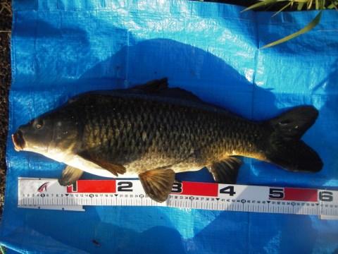 中川 鯉 60cm コーンクワセ