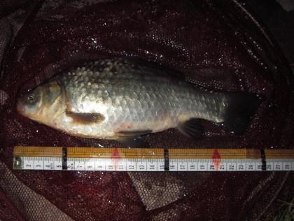 中川 半ベラか鯉ベラ 26cm