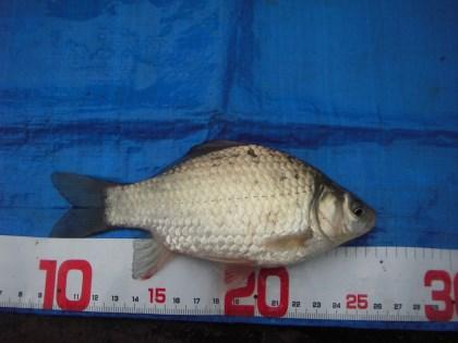 中川の小鮒3 15cm