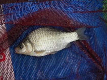 中川の小鮒1 中川1号初魚