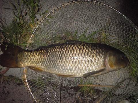 中川 鯉 60cm フリスキー