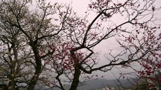 20150321梅の花