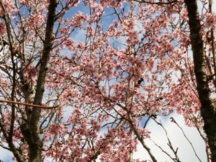 20150406桜