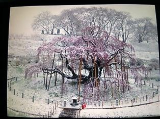 20150408雪の滝さくら