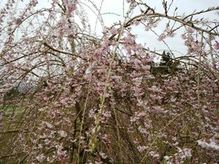 0410枝垂桜