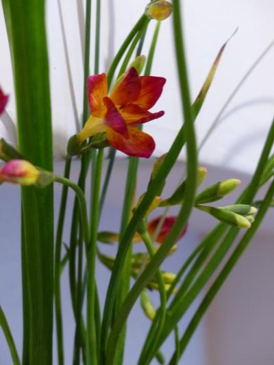 玄関の花 フリージア2