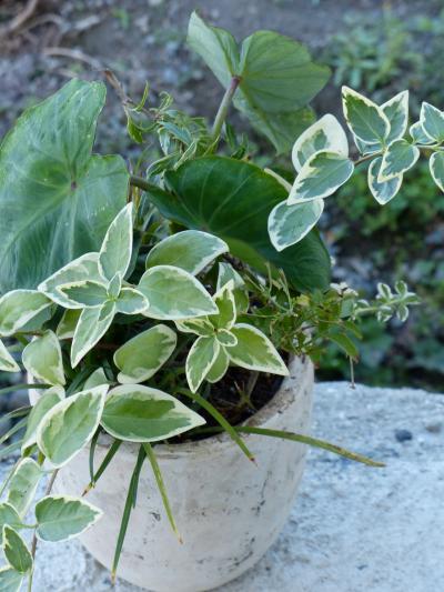 サトイモの寄せ植え2