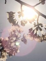陽に透ける桜