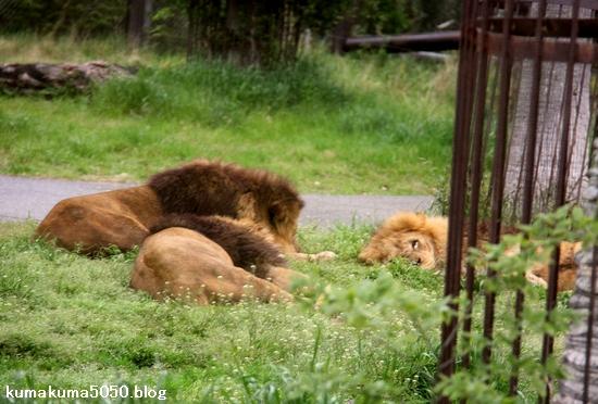 ライオン_1036