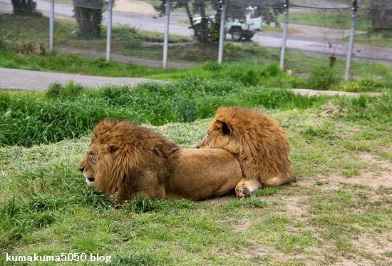 ライオン_1039