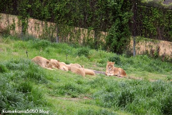 ライオン_1041