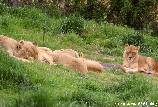 ライオン_1042