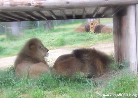 ライオン_1045