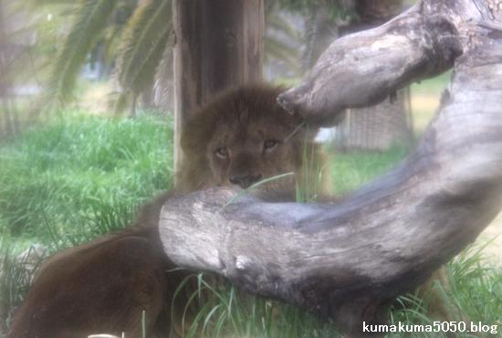 ライオン_1049