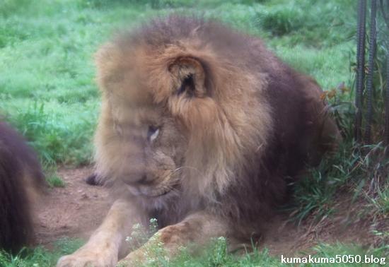 ライオン_1053