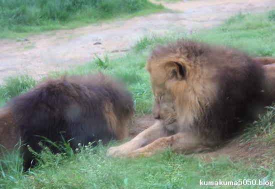 ライオン_1054