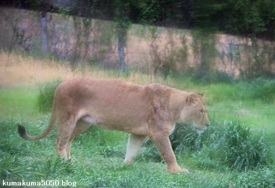 ライオン_1058