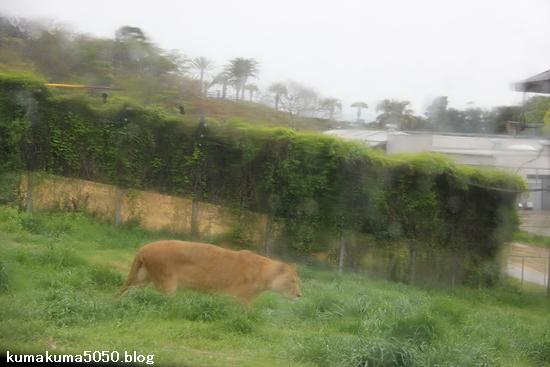 ライオン_1059