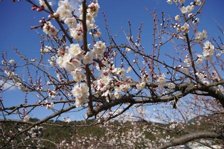 羽山神社の梅の花