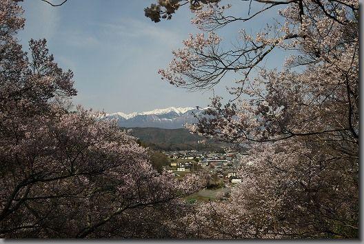 高遠桜 127