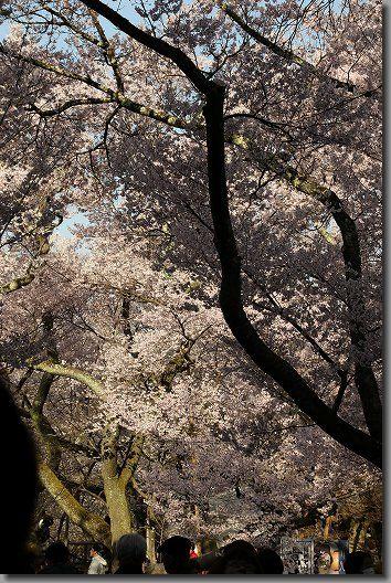 高遠桜 039