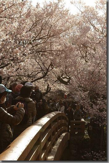 高遠桜 078