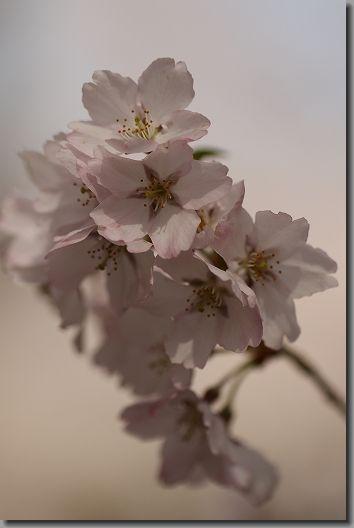 高遠桜 205
