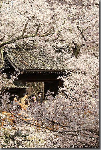 高遠桜 183