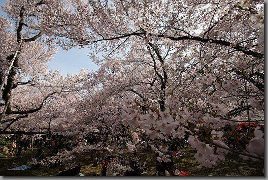 高遠桜 186