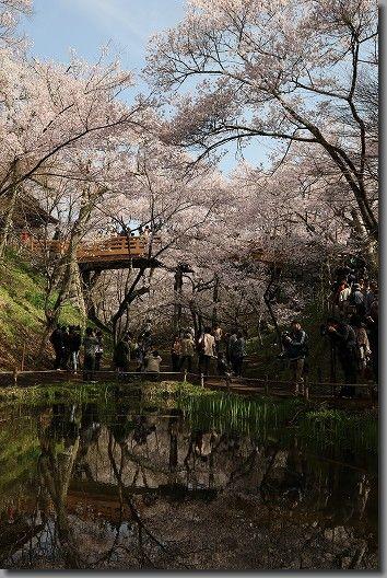 高遠桜 156