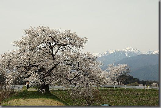 高遠桜 255