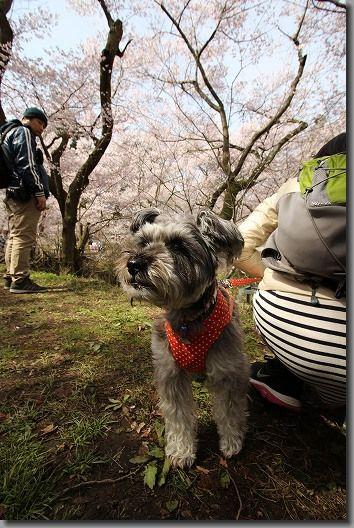 高遠桜 199