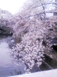 桜 津門川 150404_0634~001