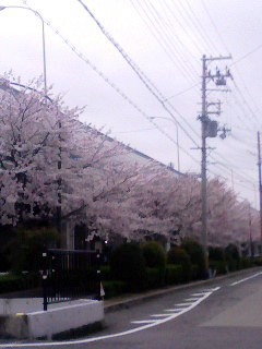桜 名神 150403_0606~001