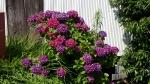 帰路に見た紫陽花3