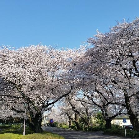 桜並木通り②