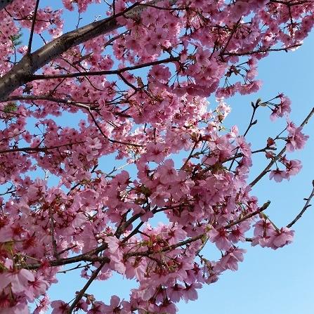 桜アップ写真