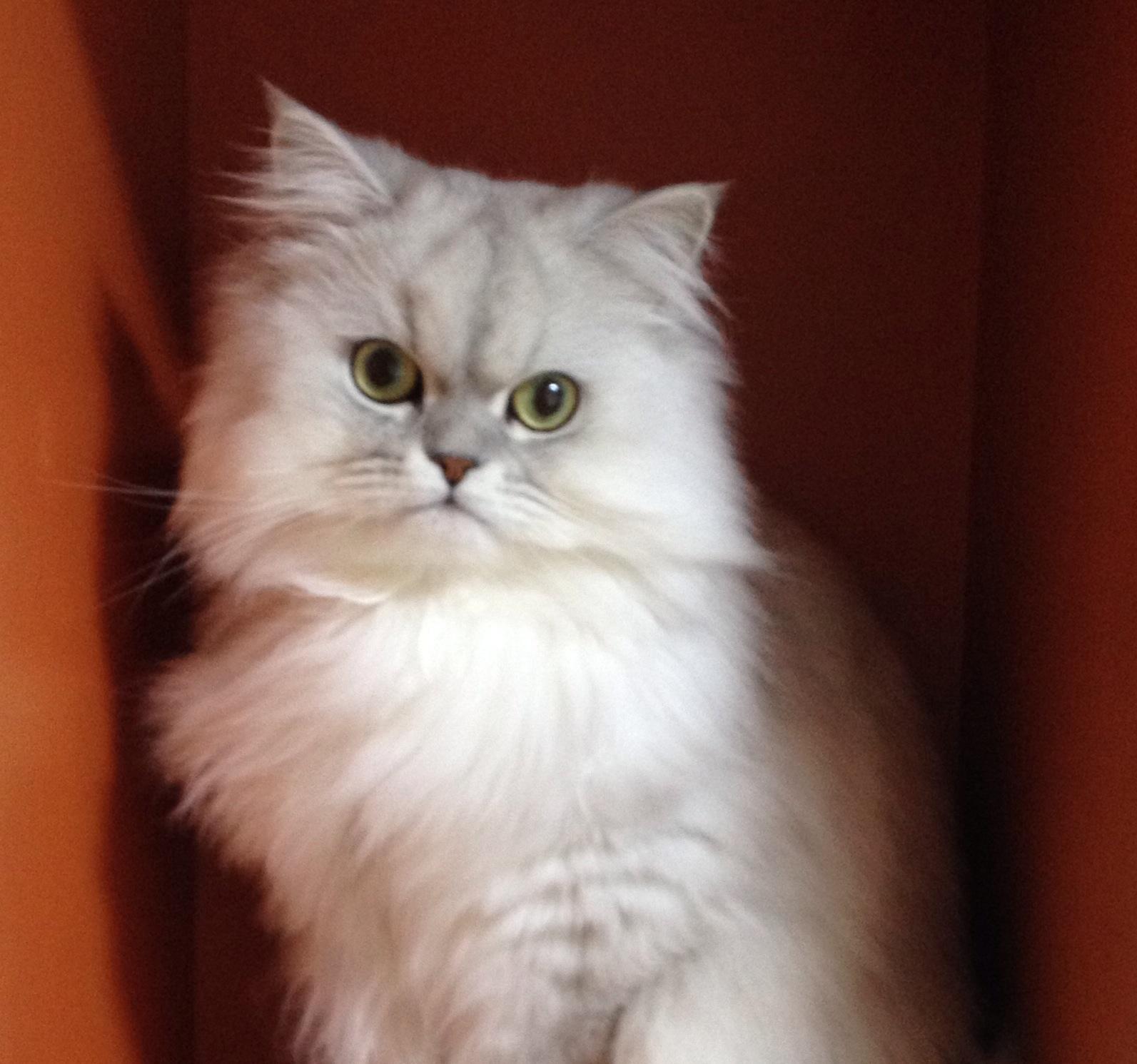 ペルシャ猫の価値としては、お鼻が潰れていて、目も寄っていてというように中央に集まっている感じ\u2026。 私はどうも好きではありません (´・_・`)