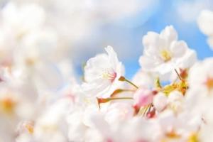 cherry-blossom_00004.jpg